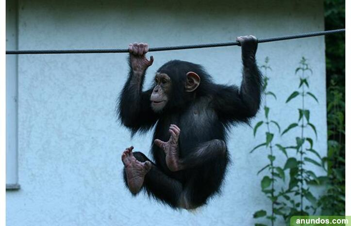 Lemur,gorillas,chimpanzee and other monkey babies for sale -