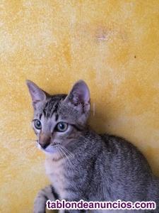 Precioso gatito atigrado en adopción