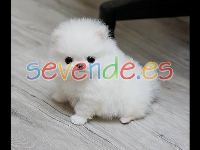 adorables cachorros pomeranian