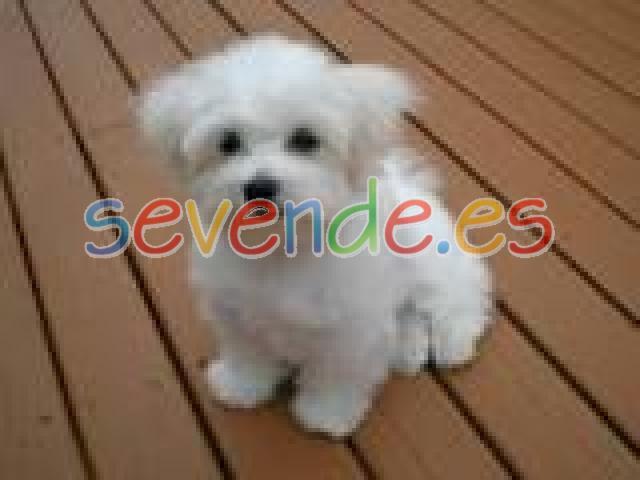 cachorros Maltes