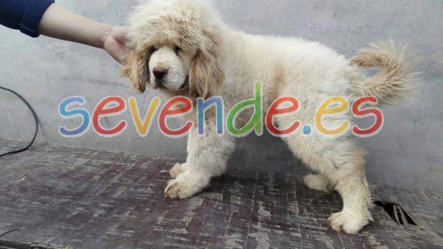los cachorros de mastín tibetano