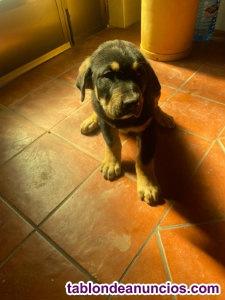 Cachorro de Mastín Leonés