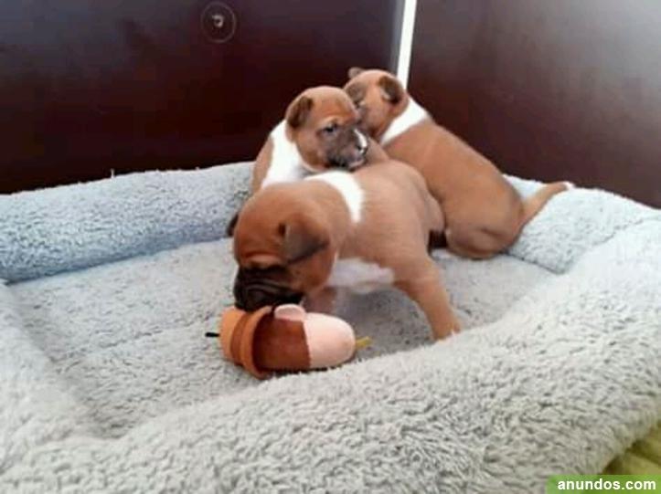Tengo una camada de cachorros basenji de 8 semanas - Elciego