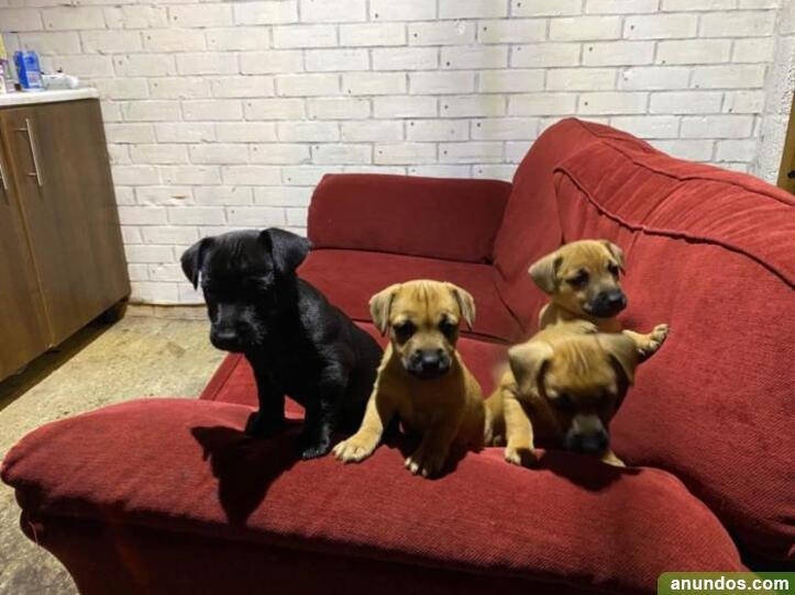 Cachorros jack russell miniatura - Zalduendo de Álava