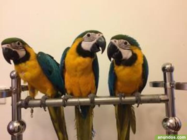 Pareja guacamayo ara ararauna en venta - Oyón