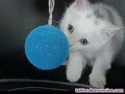 Ofrezco gatito cruce Maine Coon en adopcion