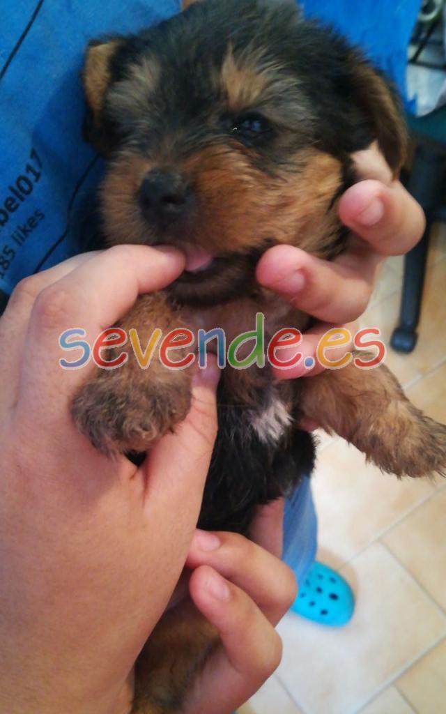 Se vende Yorshire Terrier