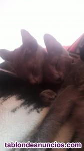 Se vende dos gatitos con pedegre