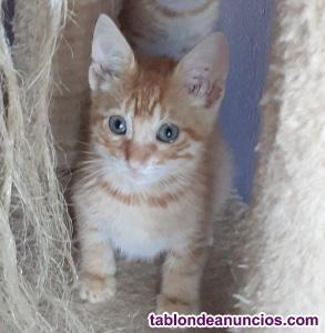 Gatito rubio en adopción