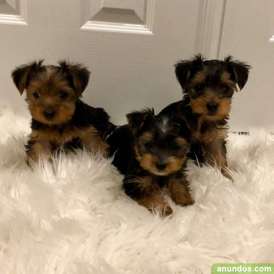 Increíbles cachorros de yorkshire, - Morcín