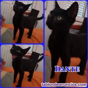 Precioso gatito negro en adopción