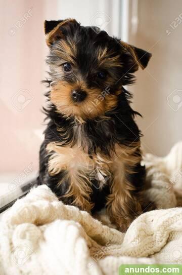 Yorkshire cachorros de 2 meses listos - Ceuta Ciudad