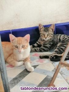 Regalo 2 gatitos machos de 3 meses y medio