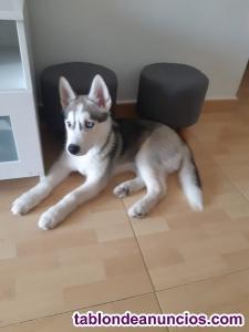 Vendo husky siberiano, cachorro de 5 meses !!