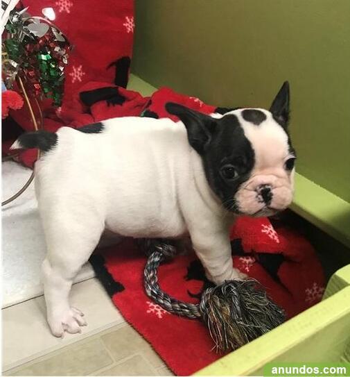 Cachorros de bulldog franceses para adopción - Gualba
