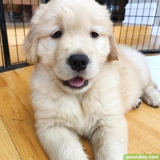 Cachorros bulldog ingles macho y hembra para adopción - A