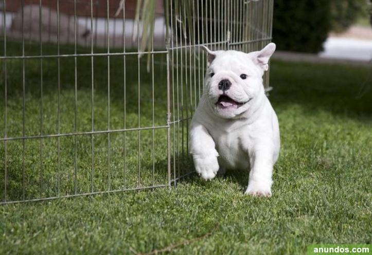 Cachorros bulldog inglés registrados akc - Donamaria