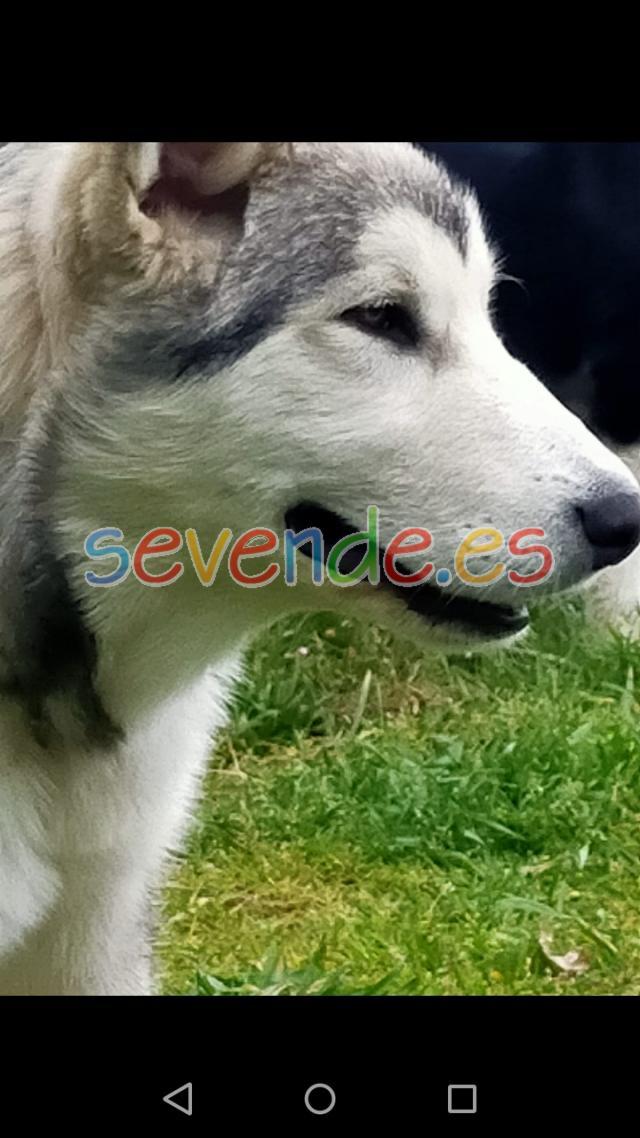 Cachorros de husky malamute