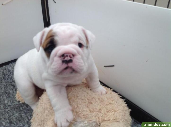 Preciosos cachorros de bulldog inglés para adopcion - Palas