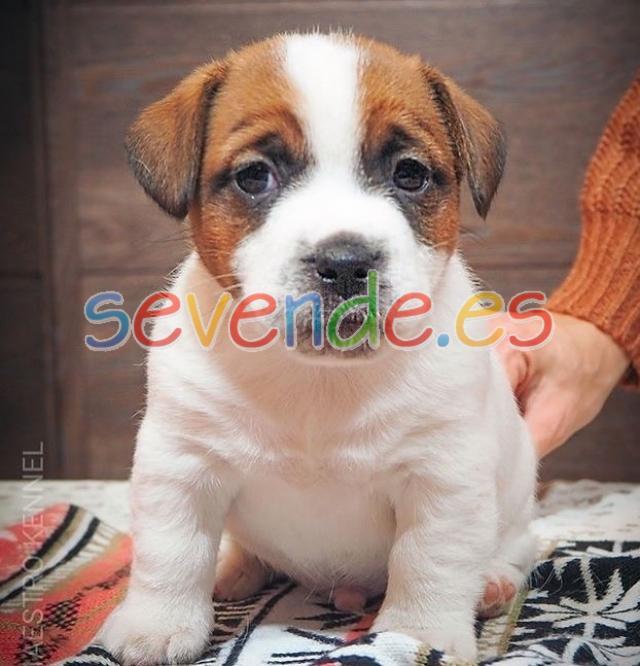 jack russell cachorros para la venta