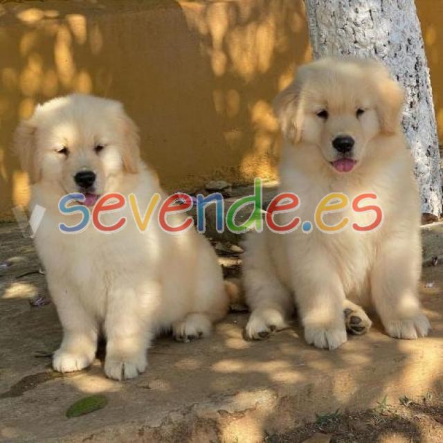 Amantes cachorros de golden retriever