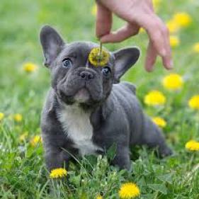 Cachorros de Bulldog Francés de primera clase disponibles