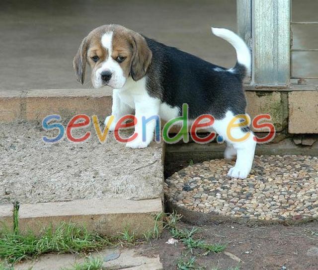 cachorro beagle para adopcion