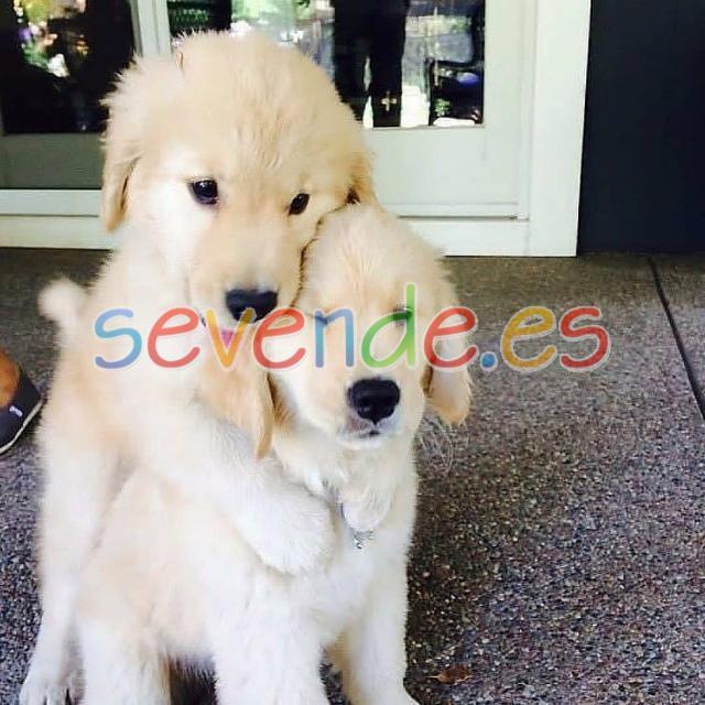 cachorros de golden retriever disponibles
