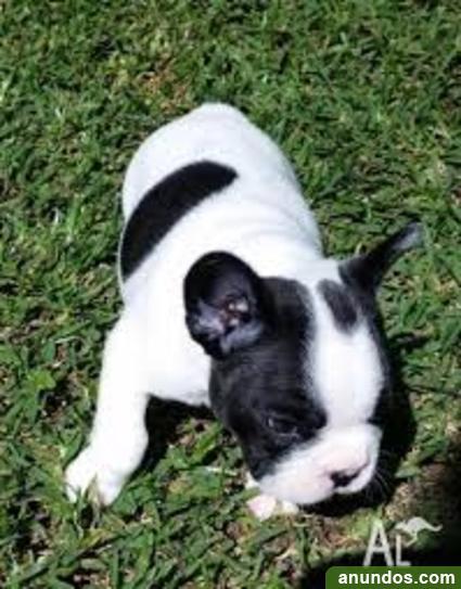 Cachorros bulldog francés para adopción - Barberà del