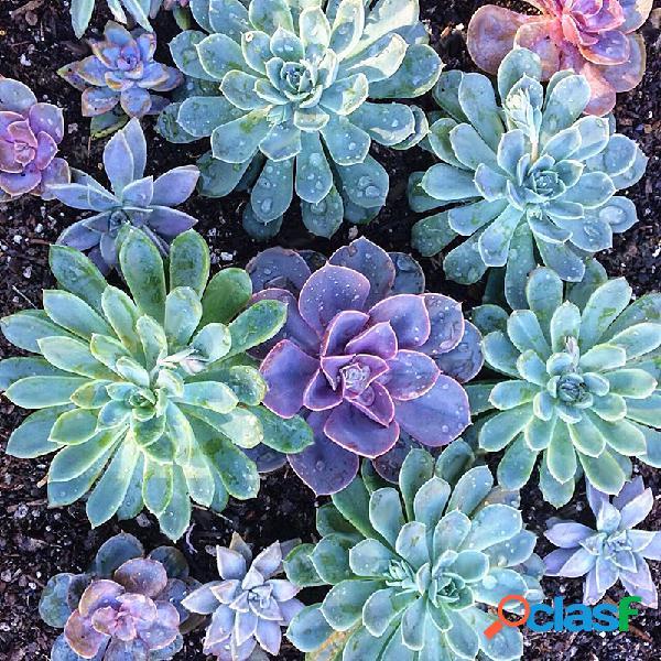 Egrow 200PCS Echeverione Suculentas Semillas de Jardín de