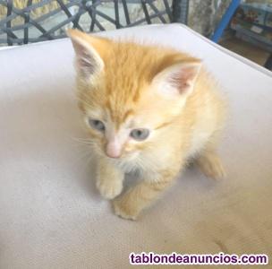 Gatito naranja (rubio) en adopción