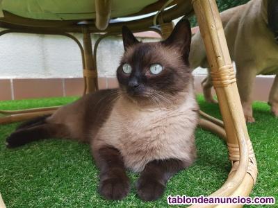 Gato Siames en adopción