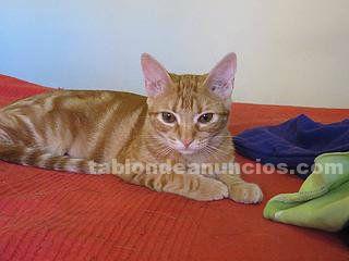 HOPY (nacimiento abril ), gatita en adopción Madrid