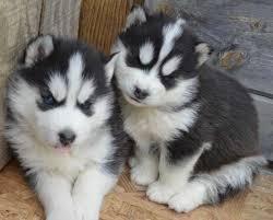Preciosos Cachorros Husky Siberiano.