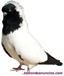 Vendo palomas mensajeras blancas y num cabeza de monge