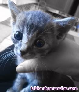 Regalo precioso gatito macho