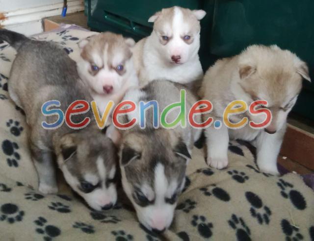 Impresionantes cachorros de husky siberiano r