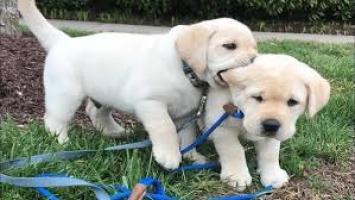 Regalo Cachorros Labrador para su adopcion libre