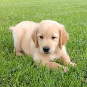 regalo de cachorros de Golden Retriever para adopción