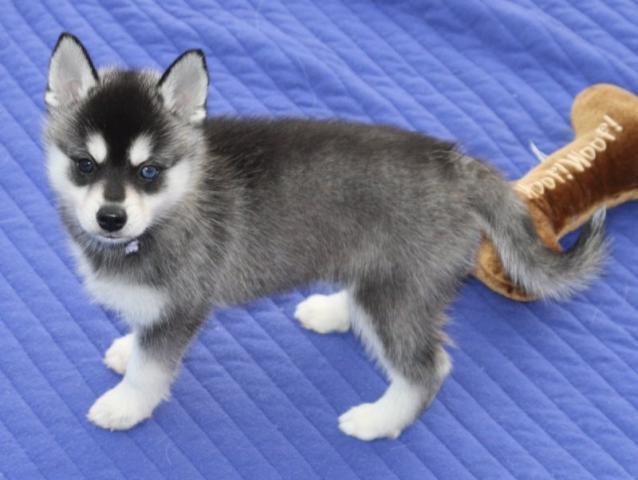 Regalo Cachorros Husky Siberiano en Adopción