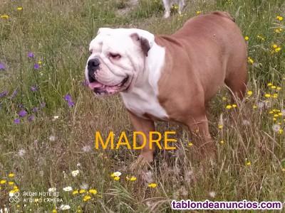 Espectacular cachorro Bulldog inglés