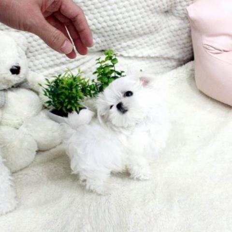 REGALO Bichón Maltés Mini Toy Para Adopción