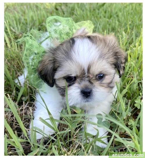 * encantadoras cachorros shih tzu listas para un nuevo hogar