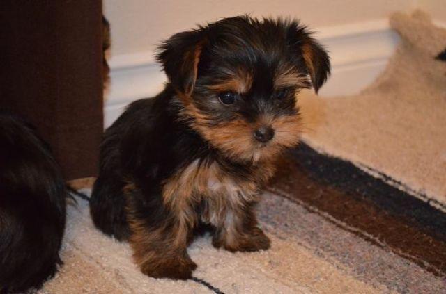 Preciosos cachorros Yorkshire Terrier T-Cup para adopción