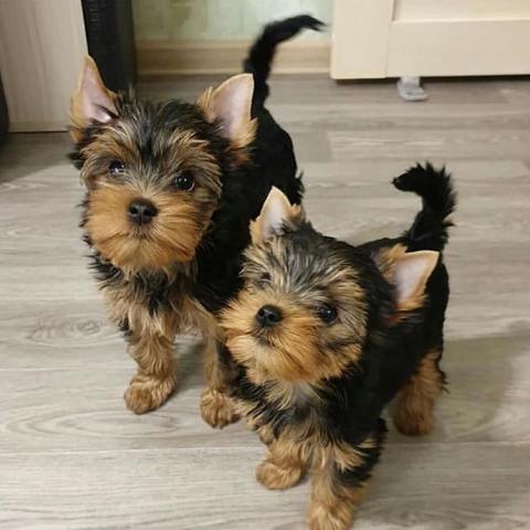 Mini juguete cachorros yorkshire terrier regalo, para