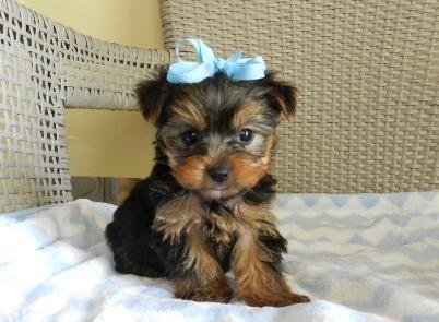 RRRRRR..Regalo Cachorros macho y hembra Yorkie Para Adopcion