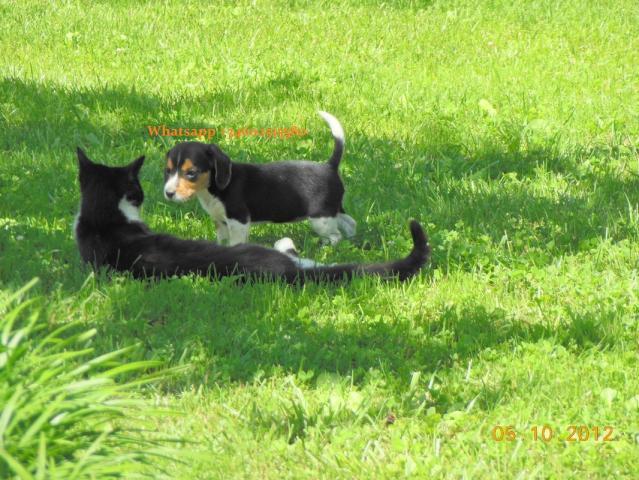 * Tri-color Los cachorros de beagle(Regalo economicos