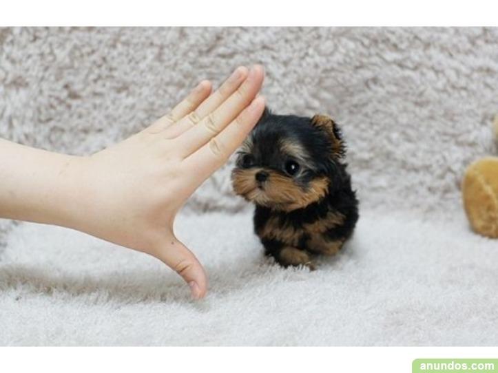 ///regalo regalo mini toy yorkie, los cachorros se entregan