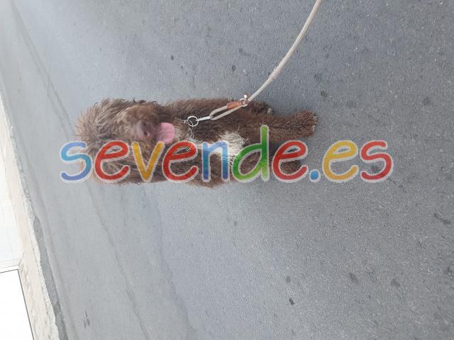 se vende perro de aguas español 8 meses