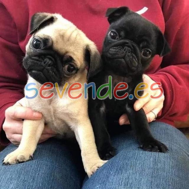 Cachorros adorables pug gratis para adopción